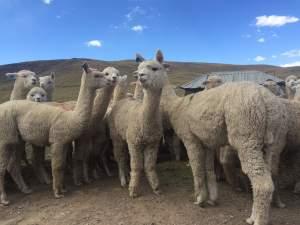 Alpacas (Antapaccay)