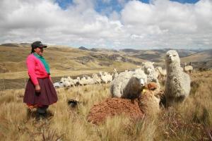 Crianza de alpacas (Yanacocha)
